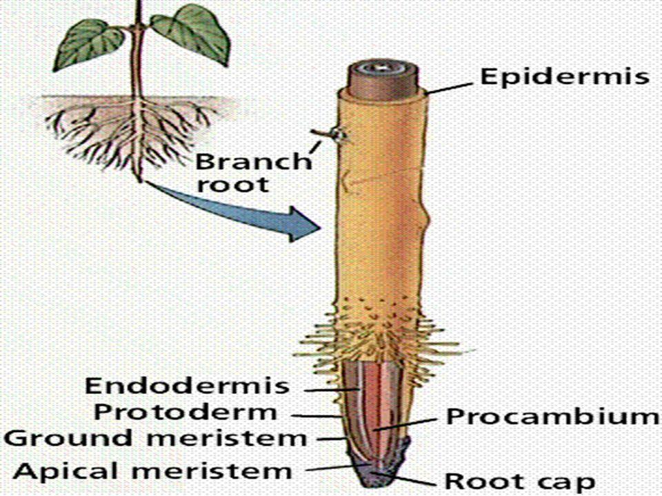 Types of plant Tissue (2) 1.Meristematic 2.