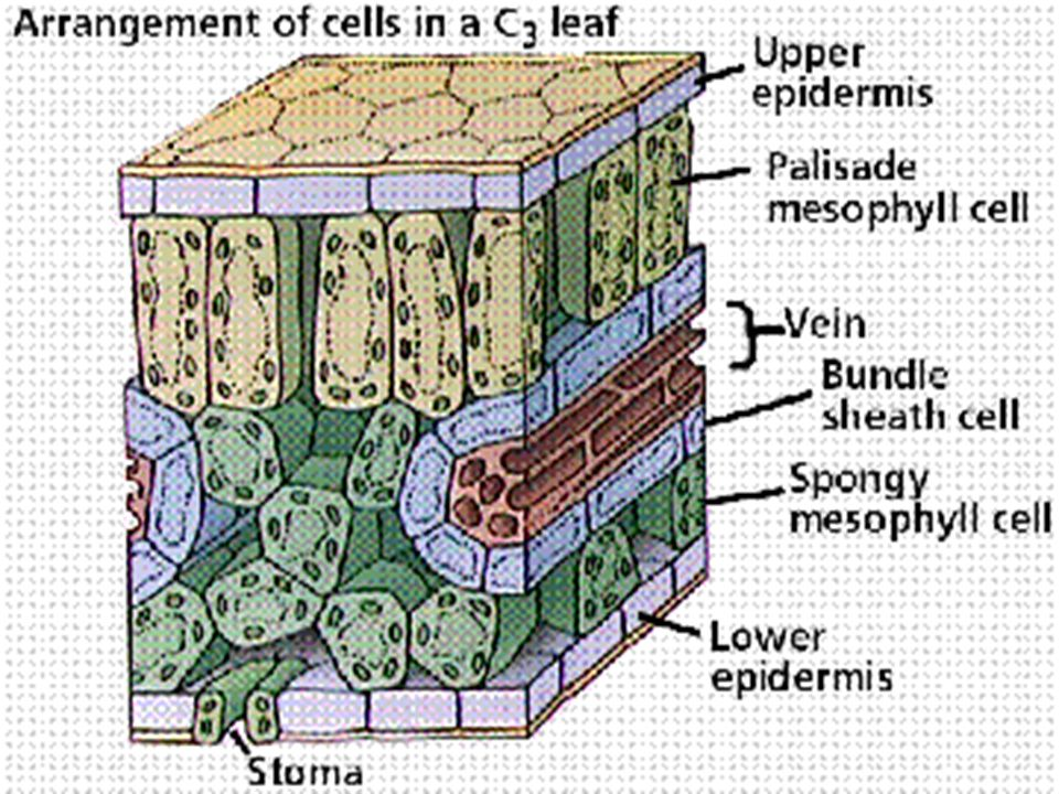 l Apical meristem l growing points of stem and root l give rise to primary permanent tissue (primary growth) l Lateral meristem l in cambium l producing secondary permanent tissues (secondary growth)