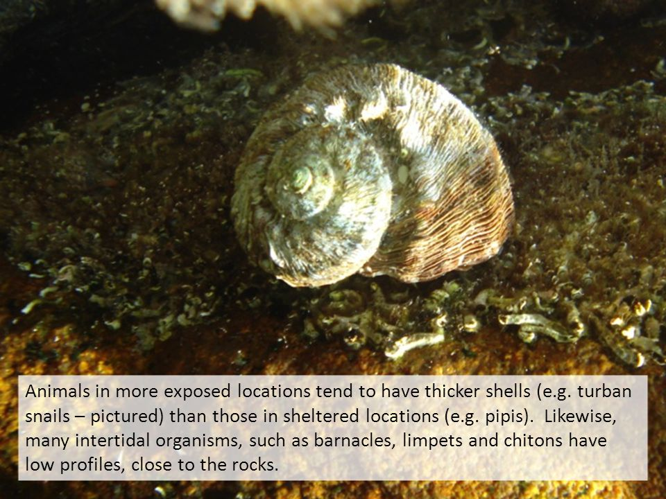 Animals in more exposed locations tend to have thicker shells (e.g.