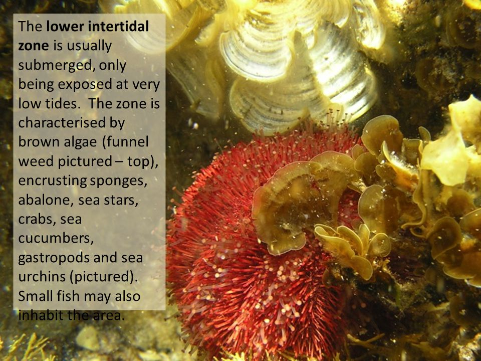 The lower intertidal zone is usually submerged, only being exposed at very low tides.