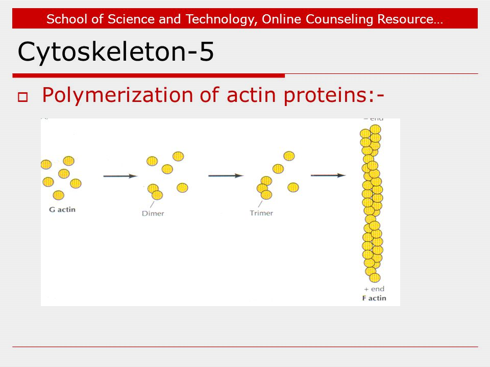 School of Science and Technology, Online Counseling Resource… Cytoskeleton-5  Polymerization of actin proteins:-