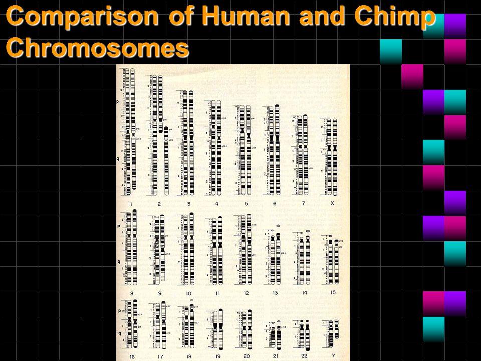 Comparison of Human and Chimp Chromosomes