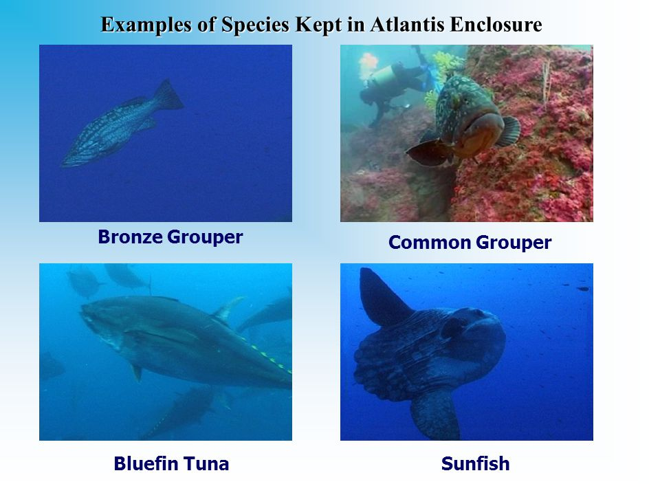 Sunfish Common Grouper Bronze Grouper Bluefin Tuna Examplesof Species Kept in Atlantis Enclosure Examples of Species Kept in Atlantis Enclosure