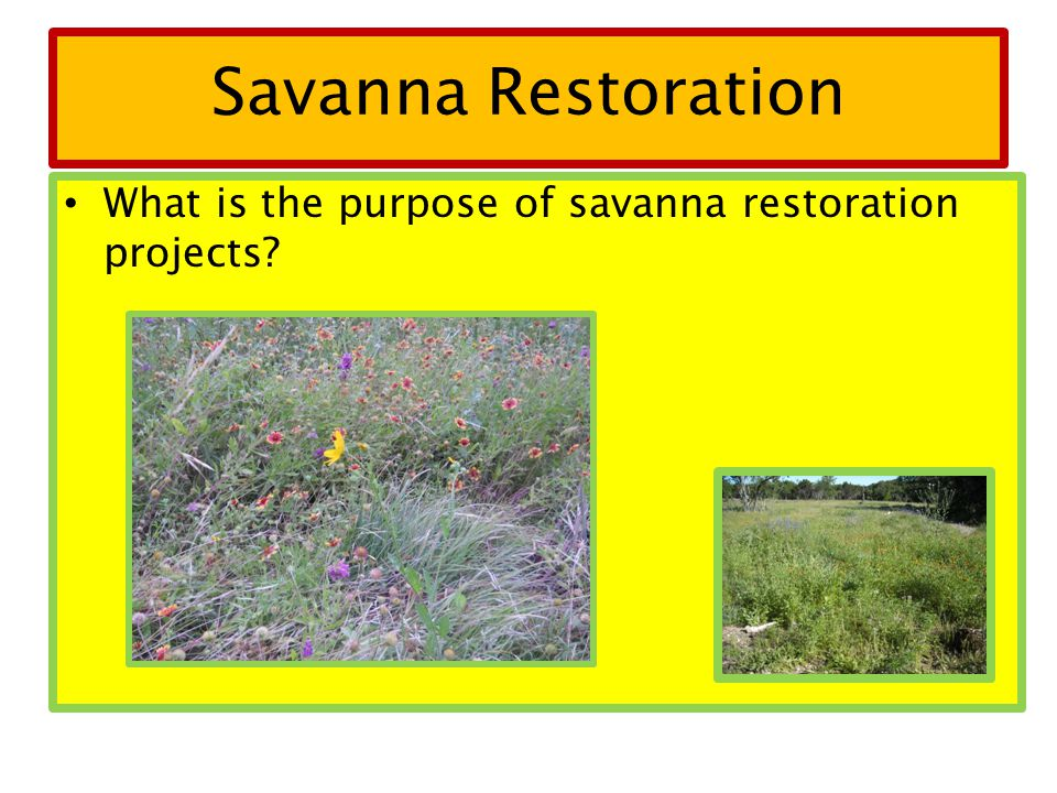 Savanna Restoration What is the purpose of savanna restoration projects