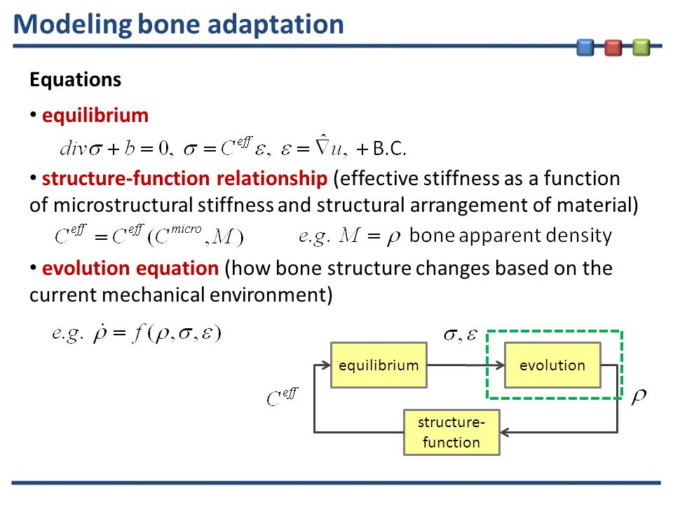 Modeling bone adaptation Equations equilibrium structure-function relationship (effective stiffness as a function of microstructural stiffness and structural arrangement of material) evolution equation (how bone structure changes based on the current mechanical environment) equilibriumevolution structure- function