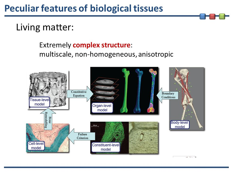 Peculiar features of biological tissues Living matter: Extremely complex structure: multiscale, non-homogeneous, anisotropic