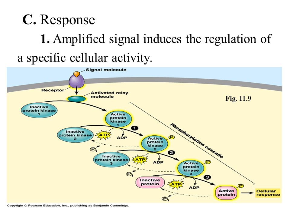 C. Response 1. Amplified signal induces the regulation of a specific cellular activity. Fig. 11.9