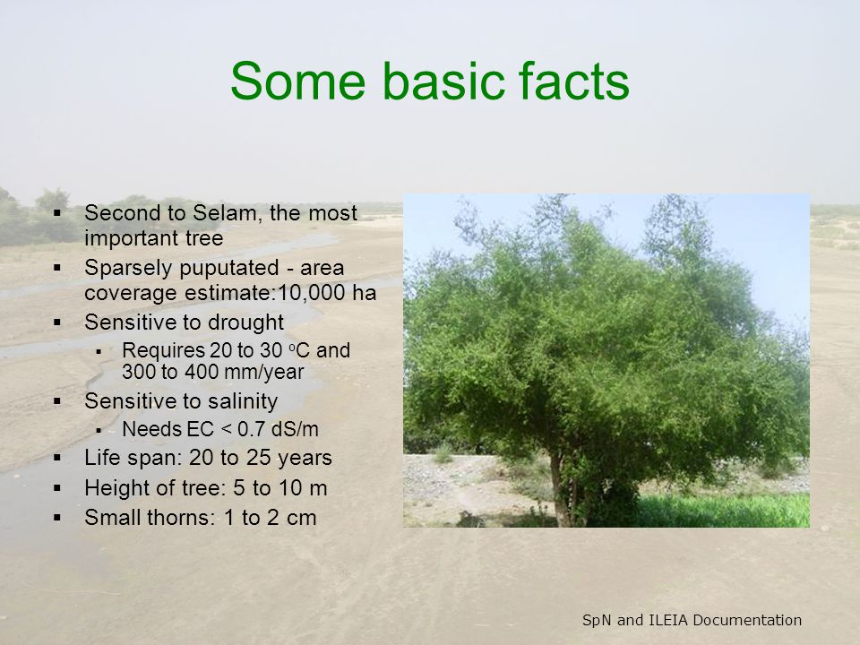 SpN and ILEIA Documentation Some basic facts  Second to Selam, the most important tree  Sparsely puputated - area coverage estimate:10,000 ha  Sensitive to drought  Requires 20 to 30 o C and 300 to 400 mm/year  Sensitive to salinity  Needs EC < 0.7 dS/m  Life span: 20 to 25 years  Height of tree: 5 to 10 m  Small thorns: 1 to 2 cm