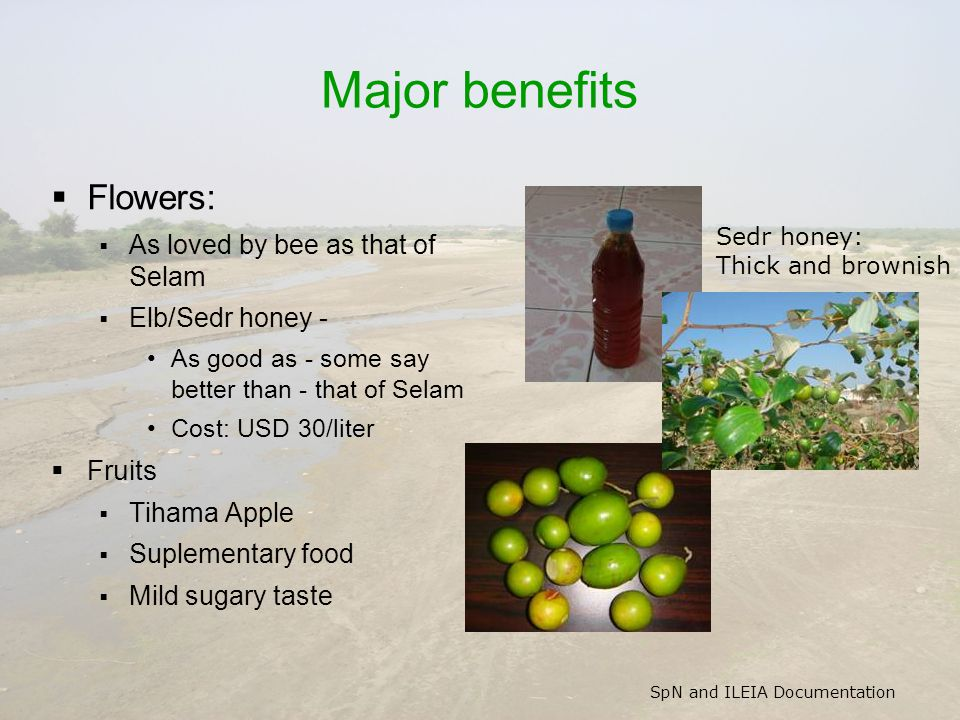SpN and ILEIA Documentation Major benefits  Flowers:  As loved by bee as that of Selam  Elb/Sedr honey - As good as - some say better than - that of Selam Cost: USD 30/liter  Fruits  Tihama Apple  Suplementary food  Mild sugary taste Sedr honey: Thick and brownish