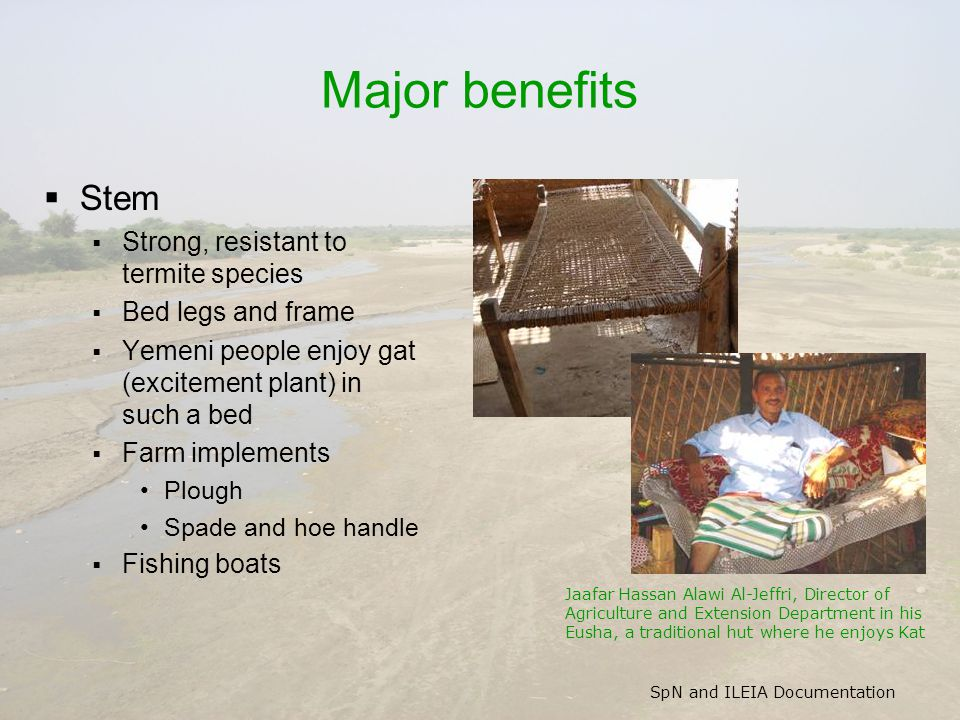 SpN and ILEIA Documentation Major benefits  Stem  Strong, resistant to termite species  Bed legs and frame  Yemeni people enjoy gat (excitement plant) in such a bed  Farm implements Plough Spade and hoe handle  Fishing boats Jaafar Hassan Alawi Al-Jeffri, Director of Agriculture and Extension Department in his Eusha, a traditional hut where he enjoys Kat