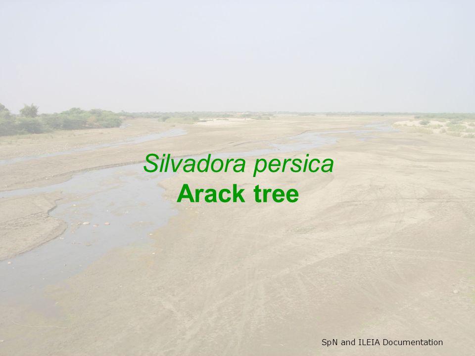 SpN and ILEIA Documentation Silvadora persica Arack tree