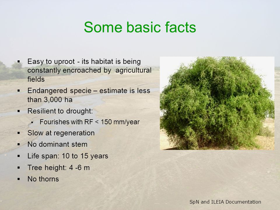 SpN and ILEIA Documentation Some basic facts  Easy to uproot - its habitat is being constantly encroached by agricultural fields  Endangered specie