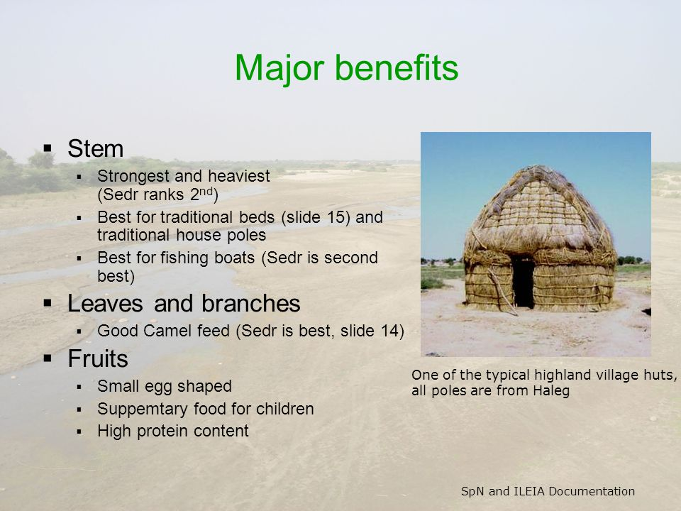 SpN and ILEIA Documentation Major benefits  Stem  Strongest and heaviest (Sedr ranks 2 nd )  Best for traditional beds (slide 15) and traditional house poles  Best for fishing boats (Sedr is second best)  Leaves and branches  Good Camel feed (Sedr is best, slide 14)  Fruits  Small egg shaped  Suppemtary food for children  High protein content One of the typical highland village huts, all poles are from Haleg