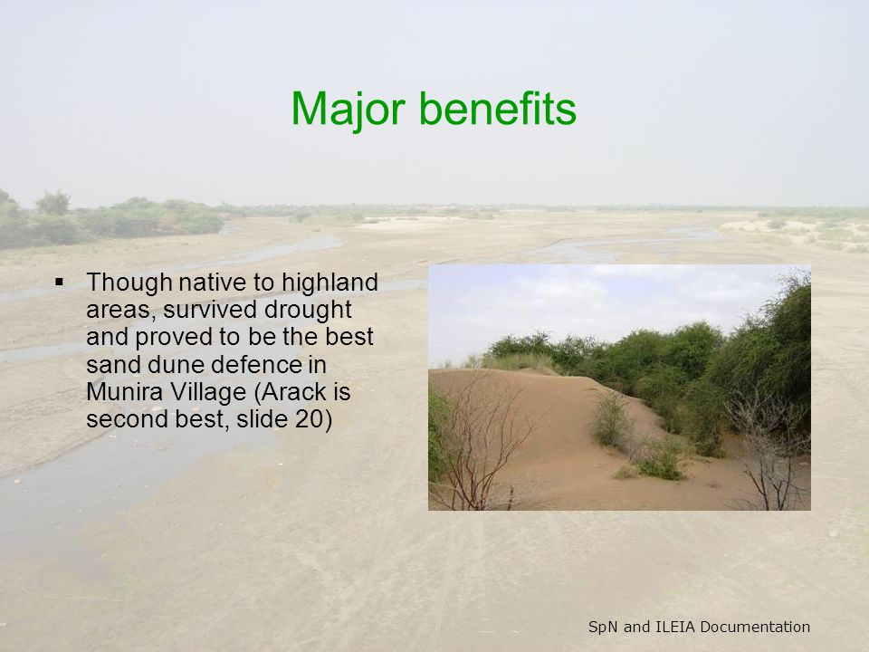 SpN and ILEIA Documentation Major benefits  Though native to highland areas, survived drought and proved to be the best sand dune defence in Munira V
