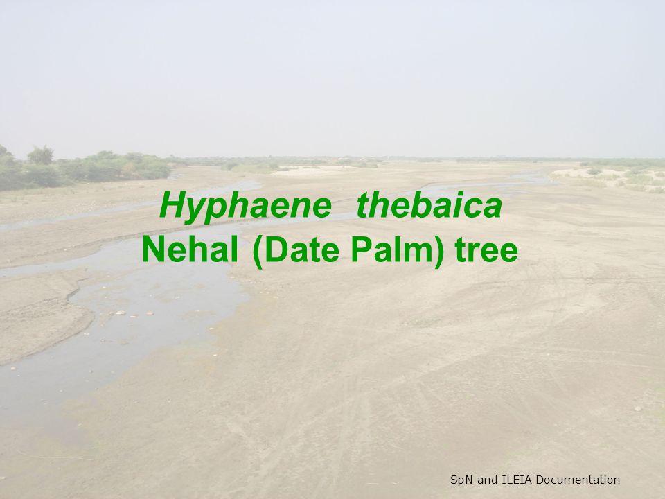 SpN and ILEIA Documentation Hyphaene thebaica Nehal ( Date Palm) tree