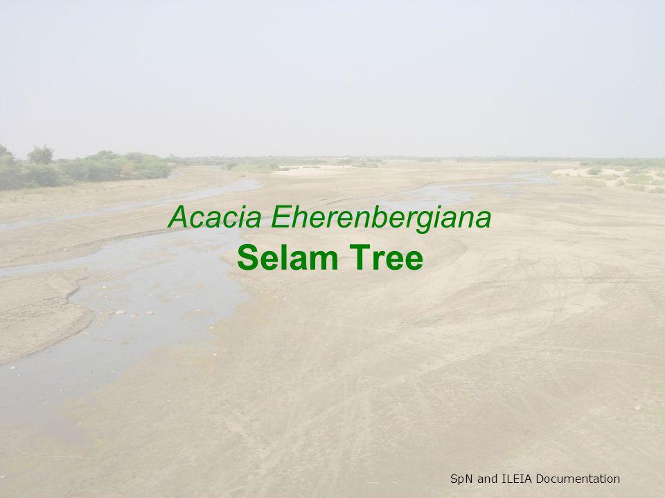 SpN and ILEIA Documentation Acacia Eherenbergiana Selam Tree