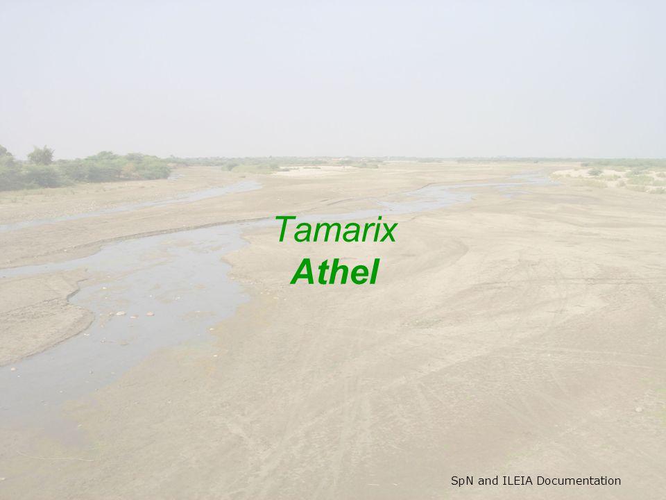 SpN and ILEIA Documentation Tamarix Athel