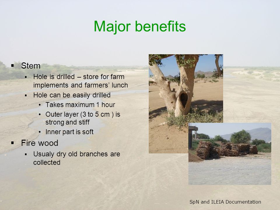 SpN and ILEIA Documentation Major benefits  Stem  Hole is drilled – store for farm implements and farmers' lunch  Hole can be easily drilled Takes maximum 1 hour Outer layer (3 to 5 cm ) is strong and stiff Inner part is soft  Fire wood  Usualy dry old branches are collected
