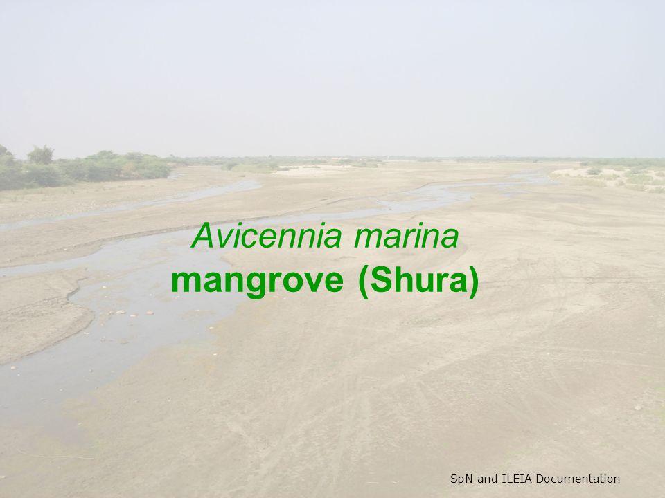 SpN and ILEIA Documentation Avicennia marina mangrove ( Shura)