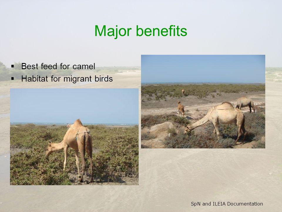 SpN and ILEIA Documentation Major benefits  Best feed for camel  Habitat for migrant birds