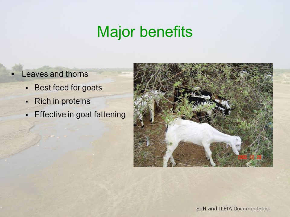 SpN and ILEIA Documentation Major benefits  Leaves and thorns  Best feed for goats  Rich in proteins  Effective in goat fattening