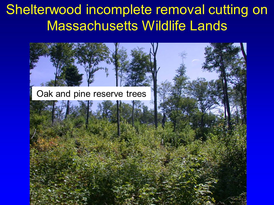 Shelterwood incomplete removal cutting on Massachusetts Wildlife Lands Oak and pine reserve trees