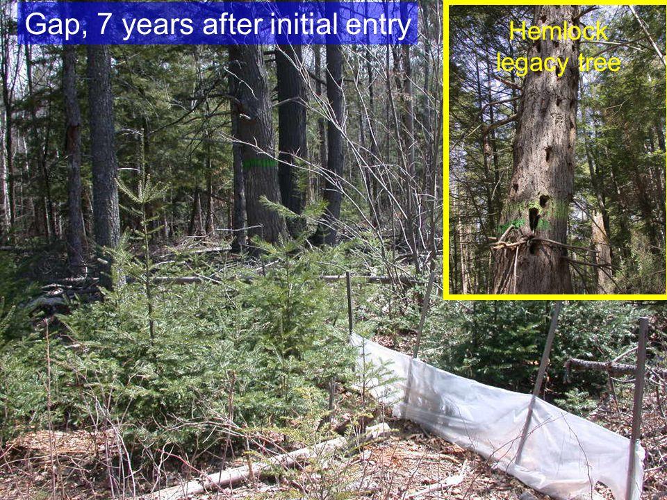Hemlock legacy tree Gap, 7 years after initial entry