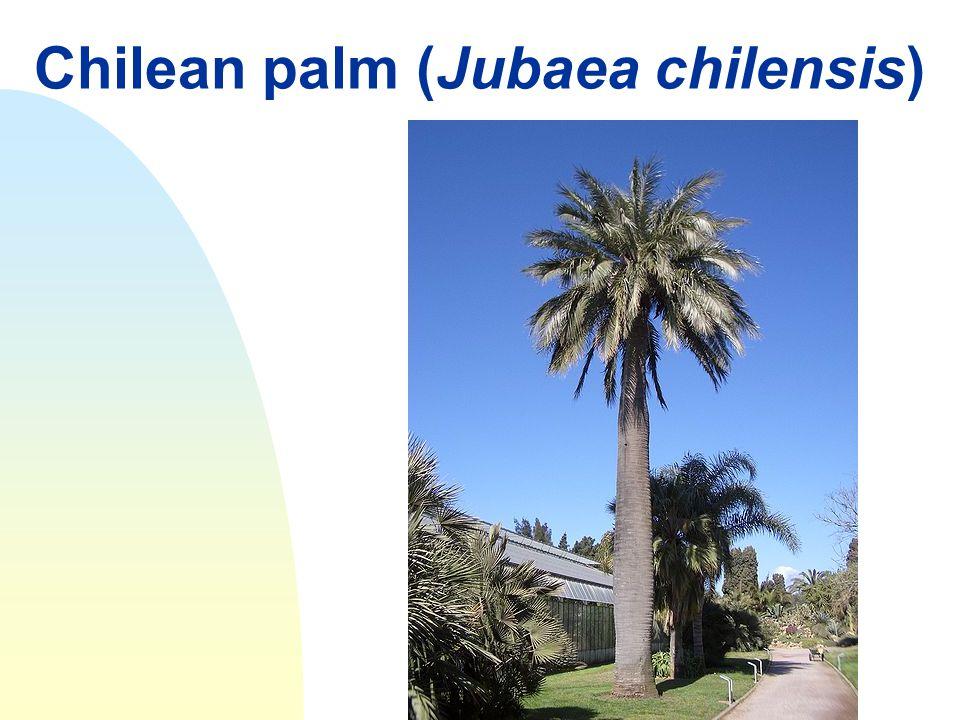 Chilean palm (Jubaea chilensis)