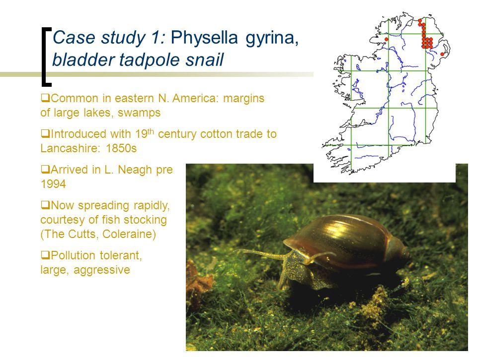 Case study 1: Physella gyrina, bladder tadpole snail  Common in eastern N.