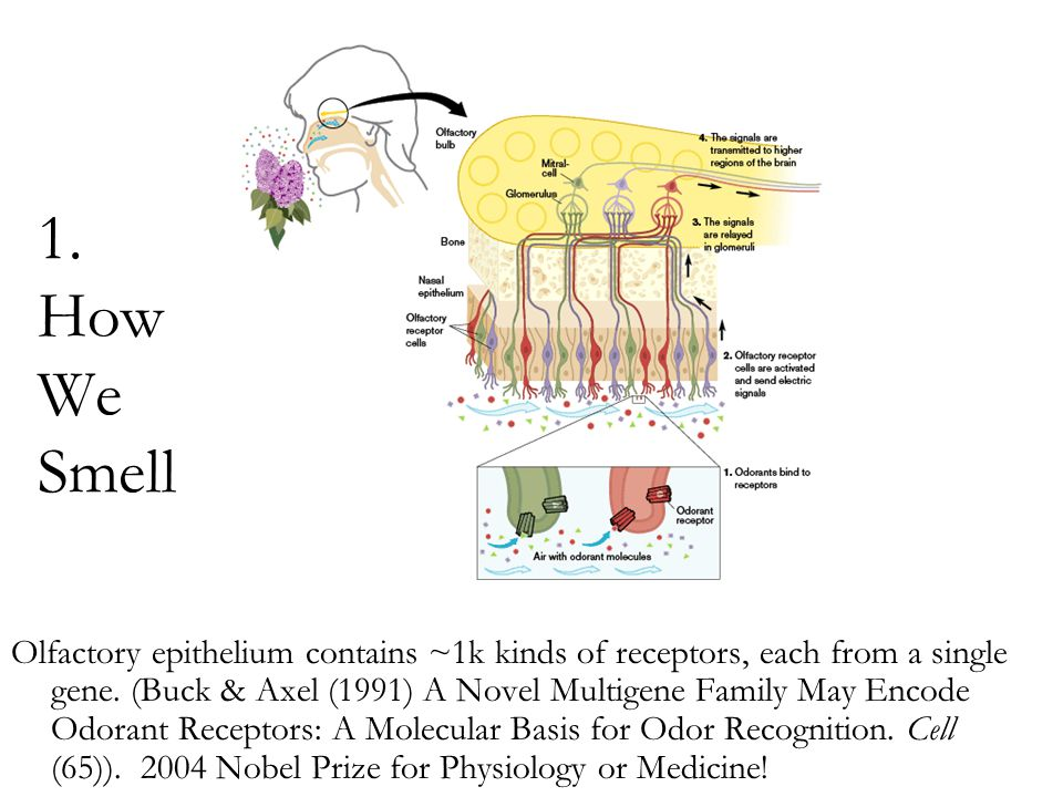1. How We Smell Olfactory epithelium contains ~1k kinds of receptors, each from a single gene. (Buck & Axel (1991) A Novel Multigene Family May Encode