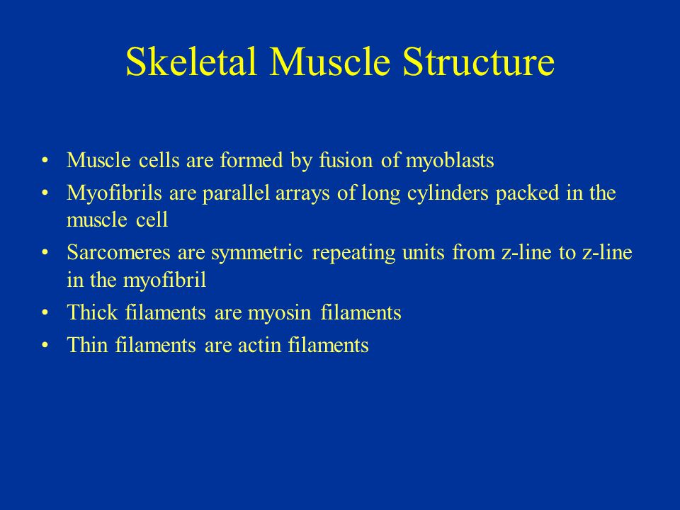 Skeletal Muscle Structure Muscle cells are formed by fusion of myoblasts Myofibrils are parallel arrays of long cylinders packed in the muscle cell Sa