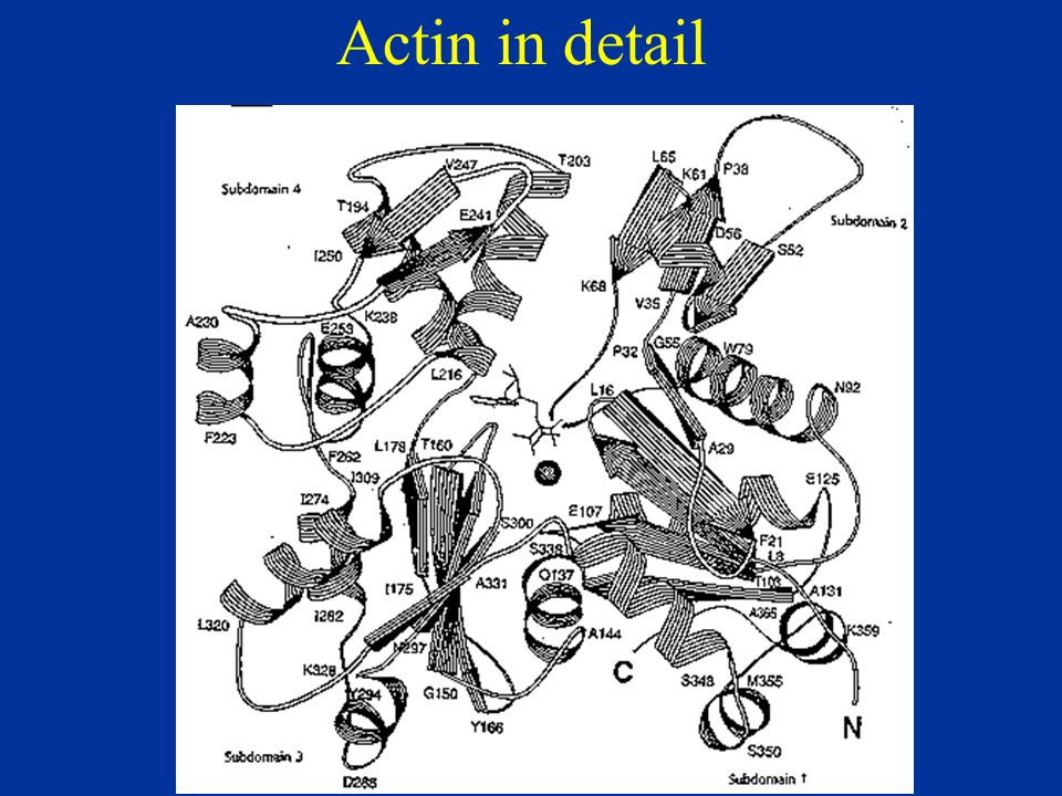 Actin structure Folding of the actin molecule is represented by ribbon tracing of the a-carbon atoms.