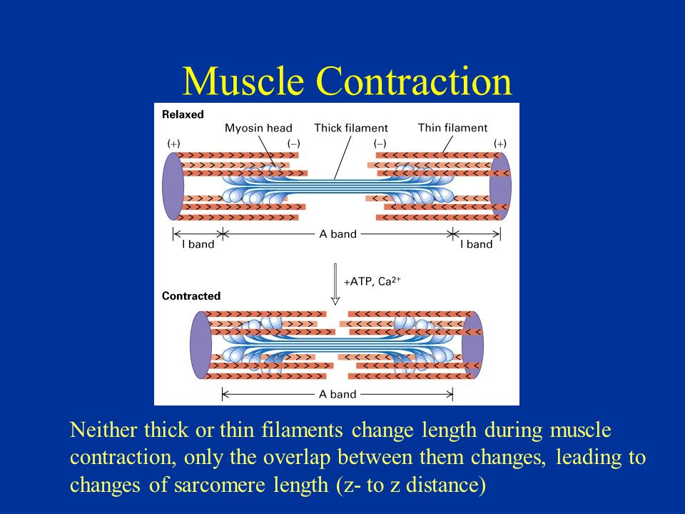 Muscle Contraction Neither thick or thin filaments change length during muscle contraction, only the overlap between them changes, leading to changes