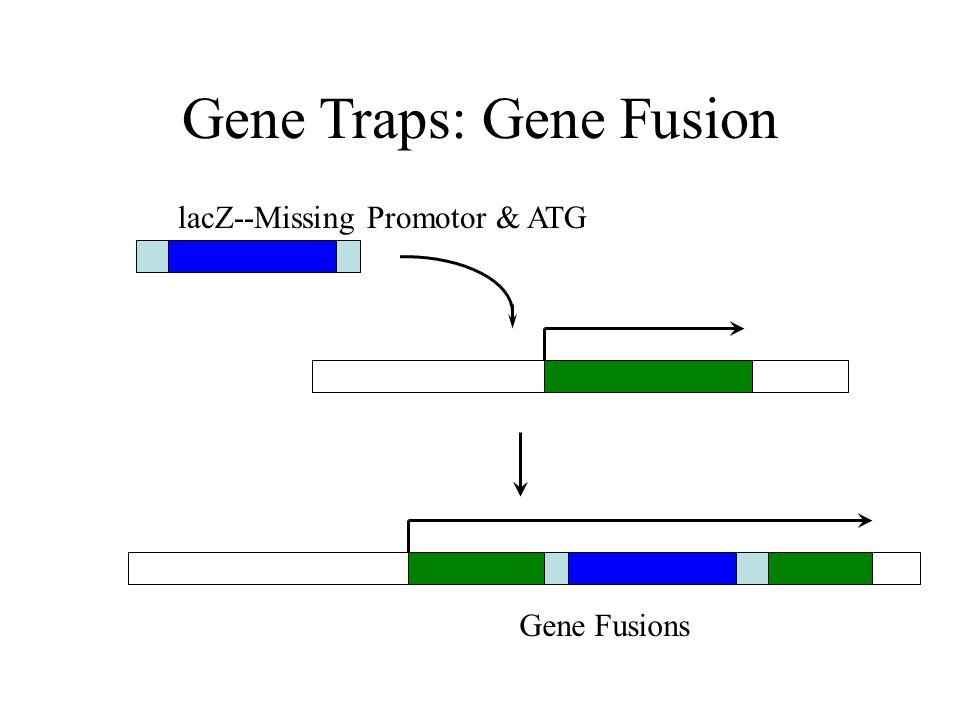 Lexicon Gene Trapping SA = Splicing acceptor