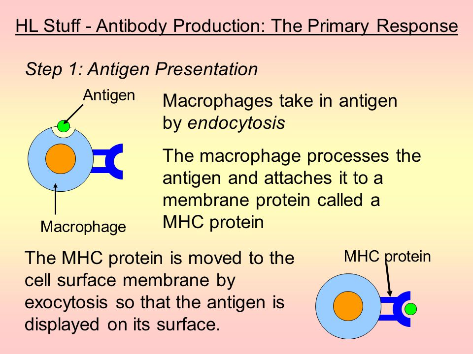 Most microbes have more than one antigen on their surface, so… …they stimulate more than one type of lymphocyte… …resulting in the production of many