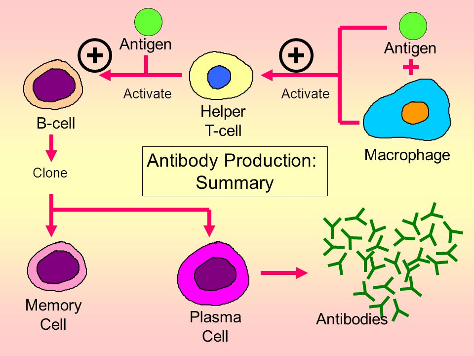 The Secondary Response: Memory Cells If an antigen invades your body a second time, a much faster response occurs which produces much larger quantity