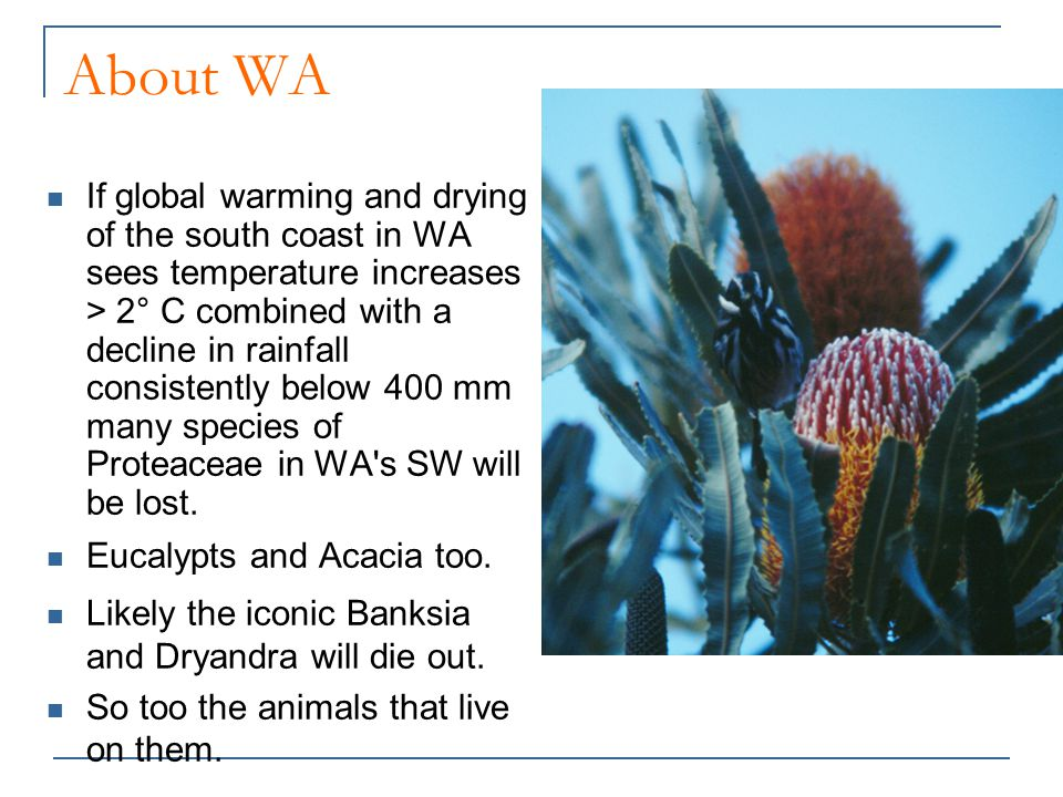About WA If global warming and drying of the south coast in WA sees temperature increases > 2° C combined with a decline in rainfall consistently below 400 mm many species of Proteaceae in WA s SW will be lost.