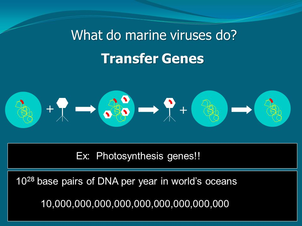 What do marine viruses do. Transfer Genes + + Ex: Photosynthesis genes!.