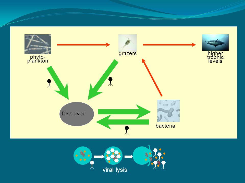 phyto- plankton grazershigher trophic levels bacteria Dissolved viral lysis