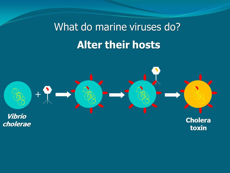 What do marine viruses do Alter their hosts Vibriocholerae + Choleratoxin