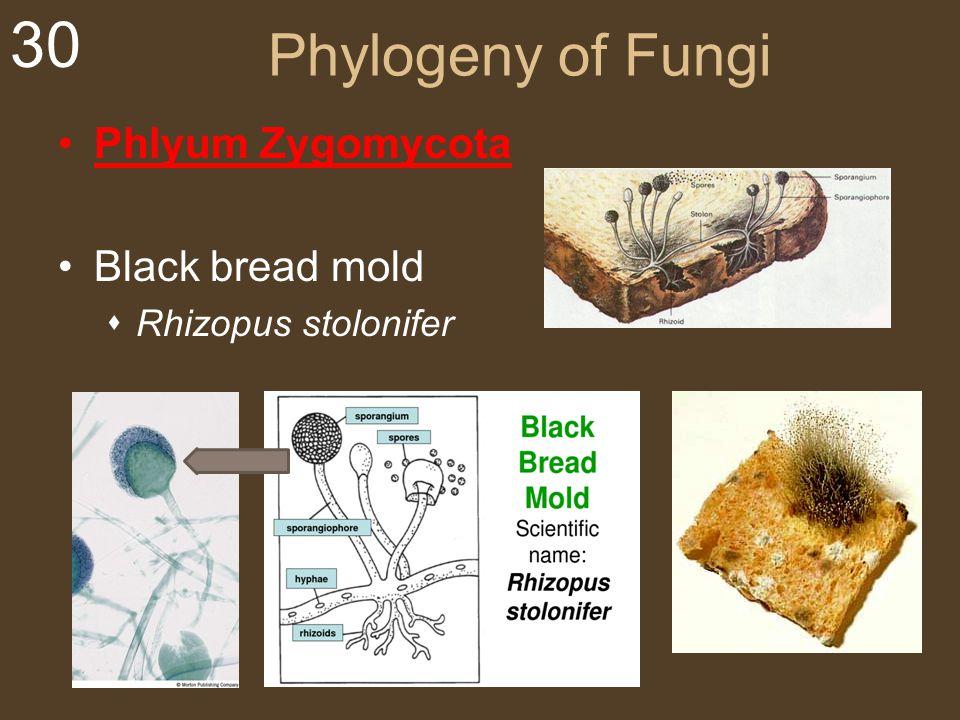 30 Phylogeny of Fungi Phlyum Zygomycota Black bread mold  Rhizopus stolonifer
