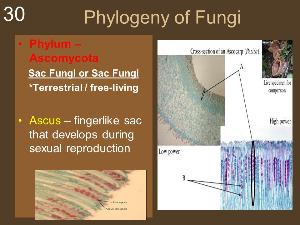 30 Phylogeny of Fungi Phylum – Ascomycota Sac Fungi or Sac Fungi *Terrestrial / free-living Ascus – fingerlike sac that develops during sexual reprodu