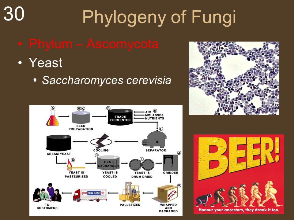30 Phylogeny of Fungi Phylum – Ascomycota Yeast  Saccharomyces cerevisia