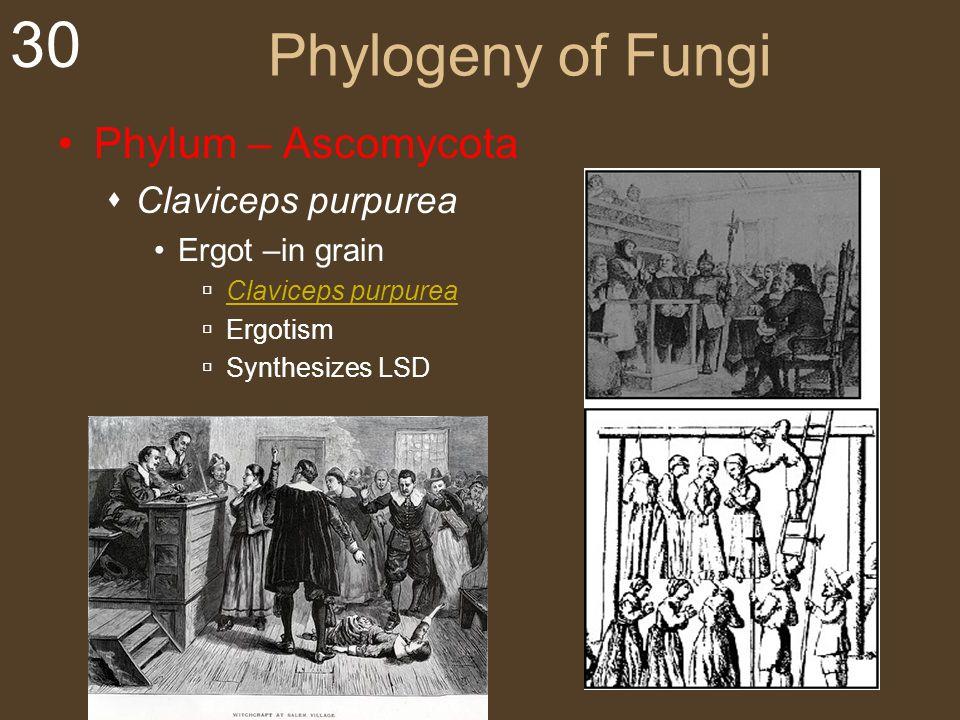 30 Phylogeny of Fungi Phylum – Ascomycota  Claviceps purpurea Ergot –in grain  Claviceps purpurea Claviceps purpurea  Ergotism  Synthesizes LSD