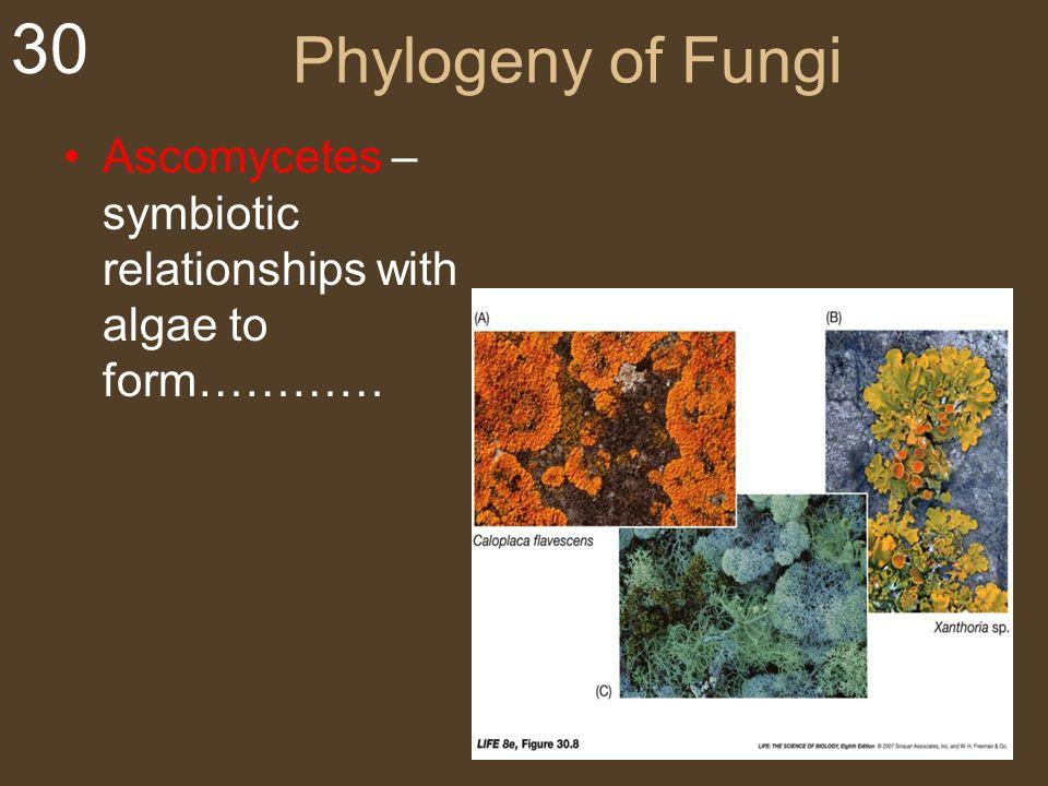 30 Phylogeny of Fungi Ascomycetes – symbiotic relationships with algae to form…………
