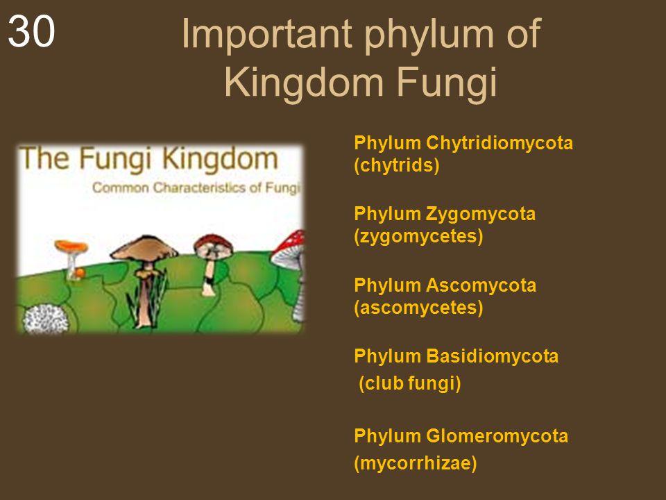 30 Important phylum of Kingdom Fungi Phylum Chytridiomycota (chytrids) Phylum Zygomycota (zygomycetes) Phylum Ascomycota (ascomycetes) Phylum Basidiom