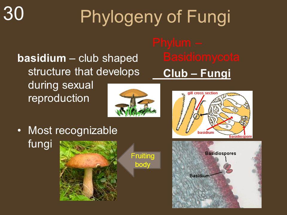 30 Phylogeny of Fungi basidium – club shaped structure that develops during sexual reproduction Most recognizable fungi Phylum – Basidiomycota Club –