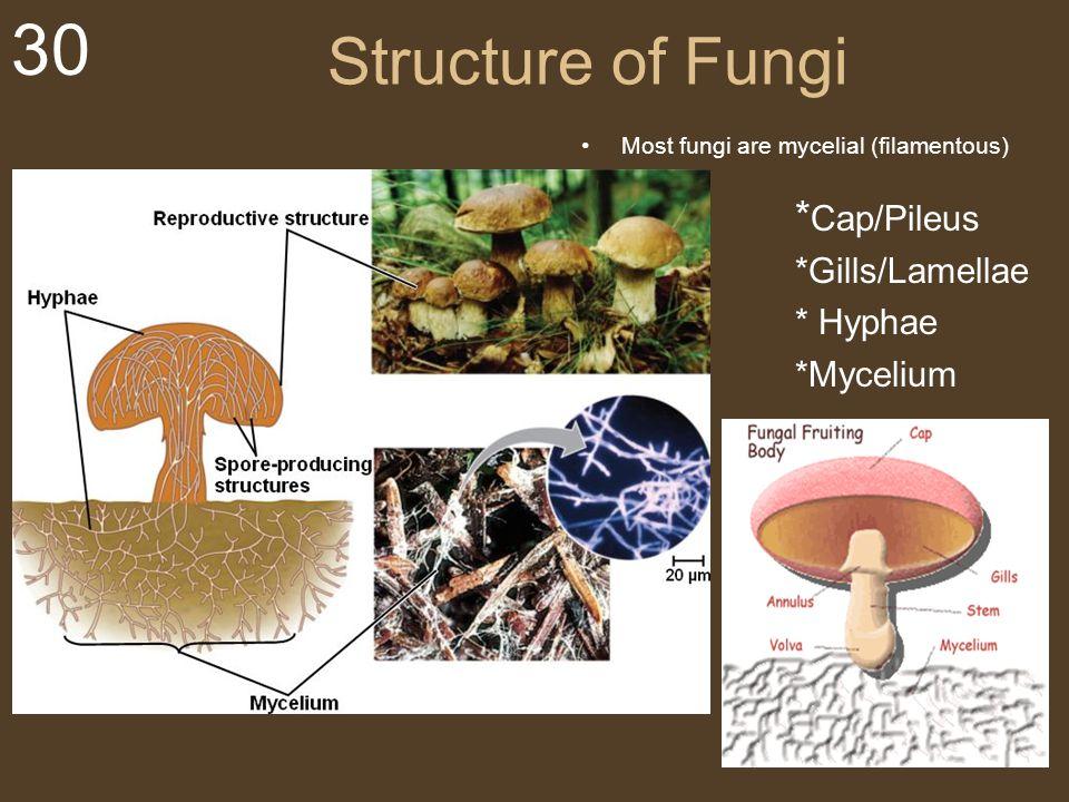 30 Structure of Fungi Most fungi are mycelial (filamentous) * Cap/Pileus *Gills/Lamellae * Hyphae *Mycelium My