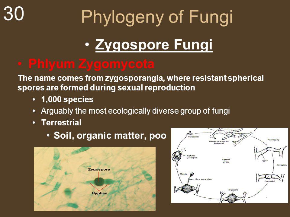 30 Phylogeny of Fungi Zygospore Fungi Phlyum Zygomycota The name comes from zygosporangia, where resistant spherical spores are formed during sexual r