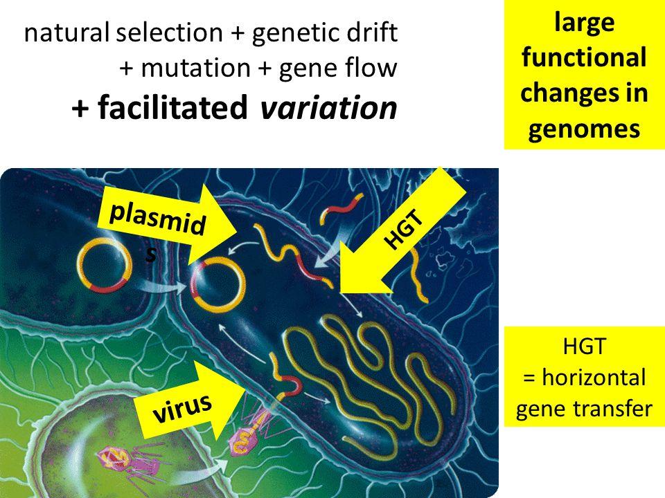 natural selection + genetic drift + mutation + gene flow + facilitated variation HGT = horizontal gene transfer plasmid s virus HGT large functional changes in genomes